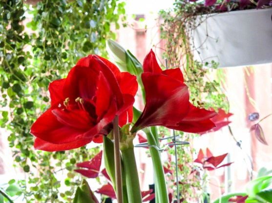 amaryllis_3 copy