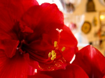 amaryllis_red_14