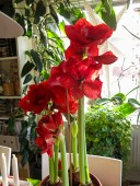 amaryllis_red_21