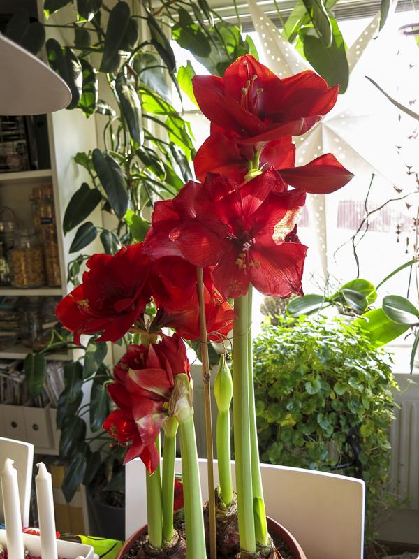 amaryllis_red_21