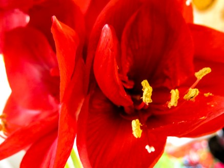 amaryllis_red_3