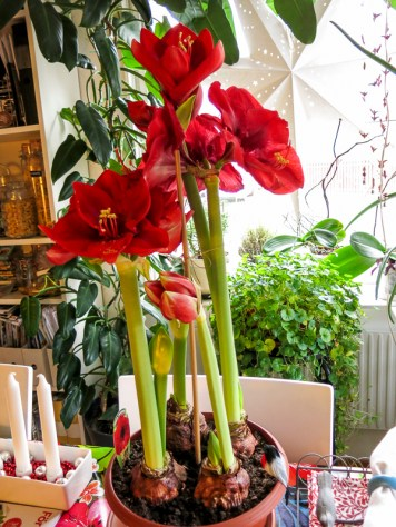 amaryllis_red_4