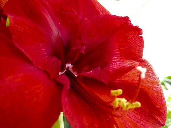 amaryllis_red_8