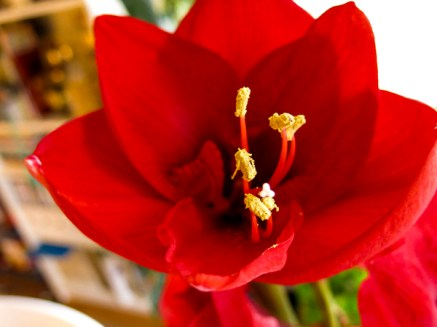 amaryllis_red_9