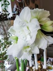amaryllis_white