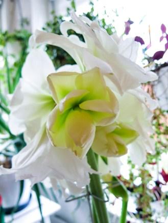 amaryllis_white_11