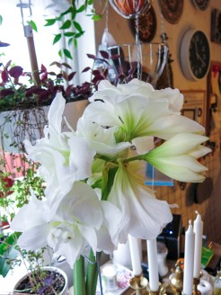 amaryllis_white_13
