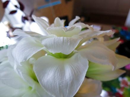 amaryllis_white_15
