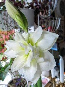 amaryllis_white_1