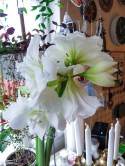 amaryllis_white_2