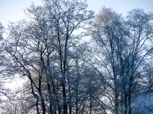 wintertrees, snow
