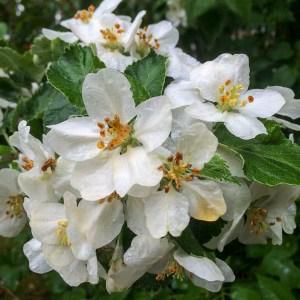 floweringappletree
