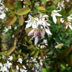floweringbush