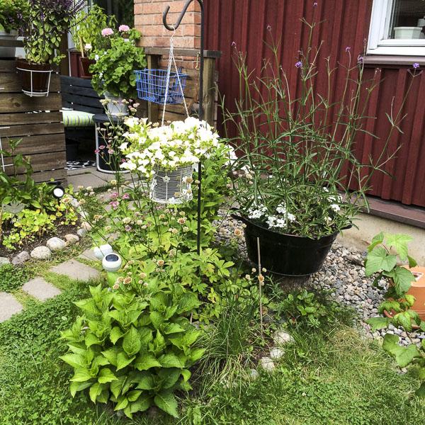 giantverbena, garden, greenery