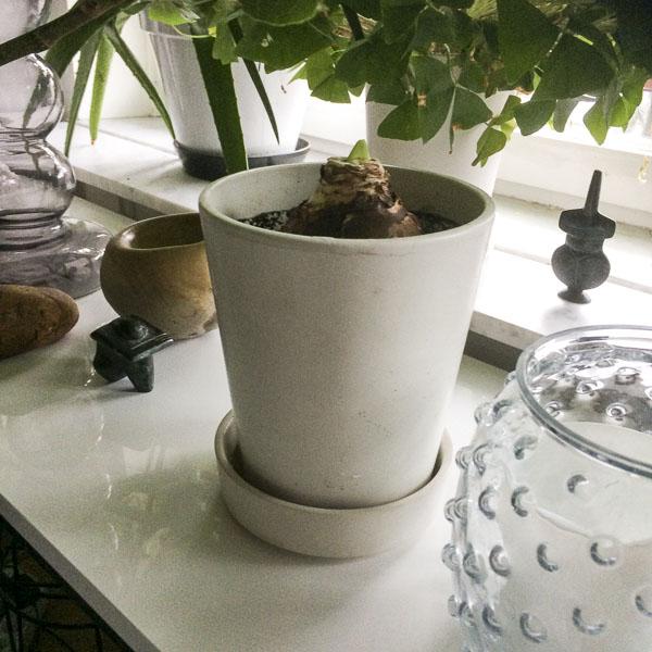 white amaryllis alfresco
