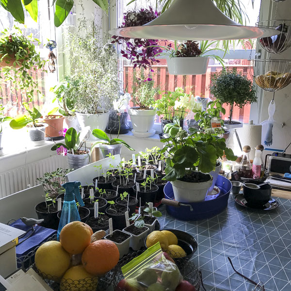 Plants on the kitchen table