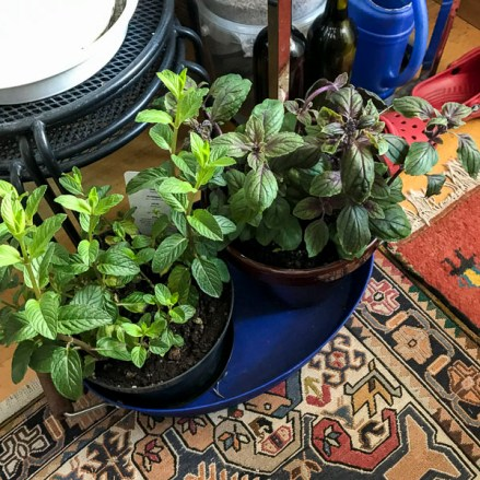 Red mint and red basil