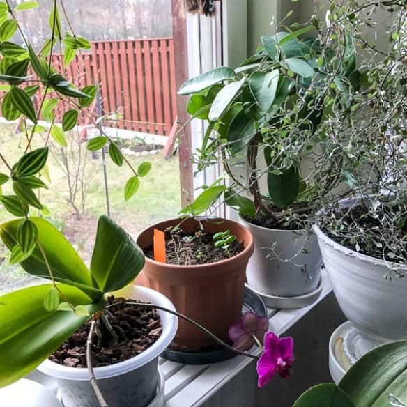 plants, basil