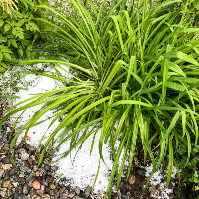 Daililies with hail.