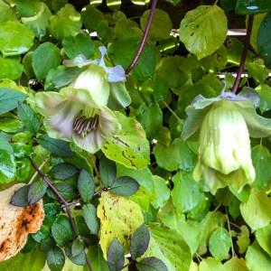 cobea, cobeaflowers