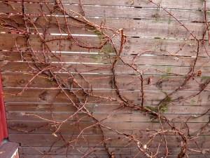hortensia, winter