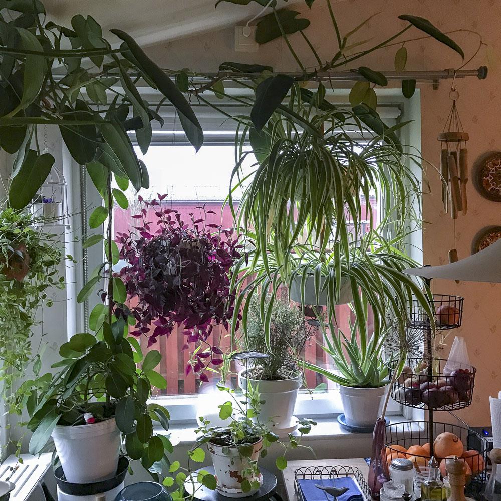 indoorplants, january, kitchenwindows