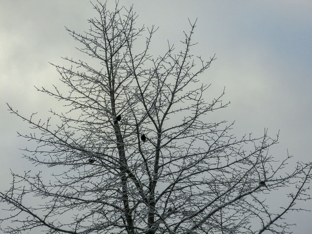 tree, blackbirds