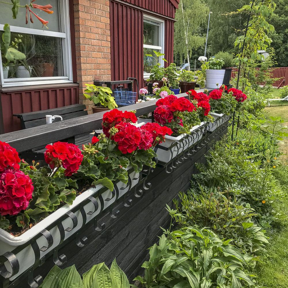pelargopnias, flowerbed