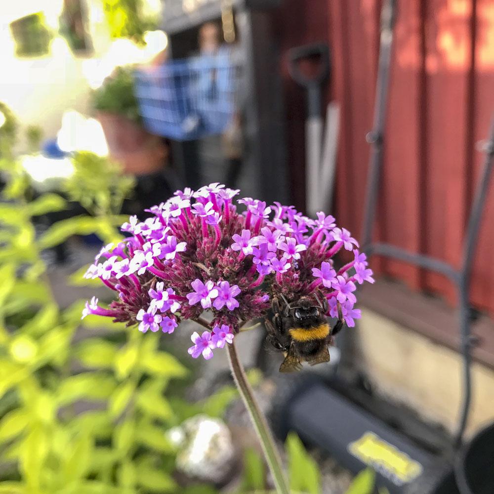 giantverbena, bumblebee