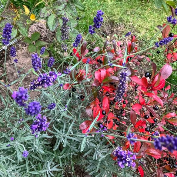 lavender, aronia