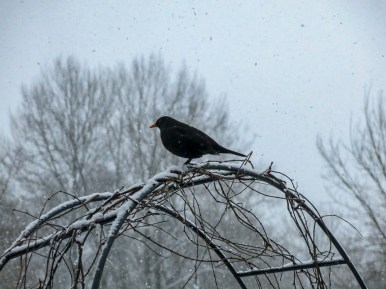 Blackbird on the bow surveing the neighborhood