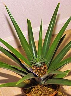 growing a pineapple plant with fruit from a pineapple fruit bought at the grocery store