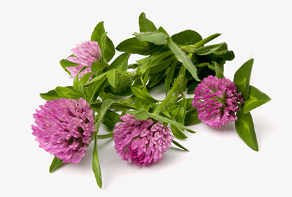 red clover, supplement, herbal remedy, menopause help, symptom relief, nature, herb, hot flushes,