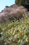 Winter sakura on Hodo-san
