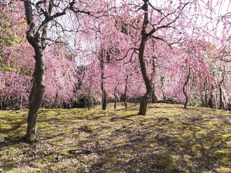 Les branches qui se chevauchent créent un rideau de différentes nuances de rose.