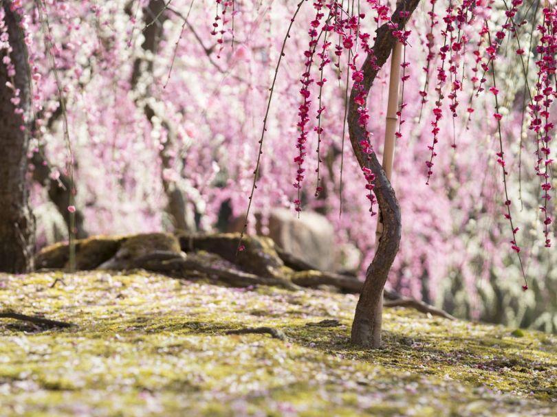 La mousse tapissée de pétales tombés attire beaucoup de gens qui viennent spécialement pour ce spectacle lorsque les fleurs ont dépassé leur apogée.