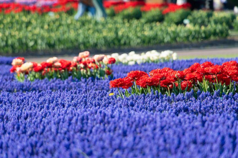 Les fleurs muscari mettent en valeur la beauté des tulipes.
