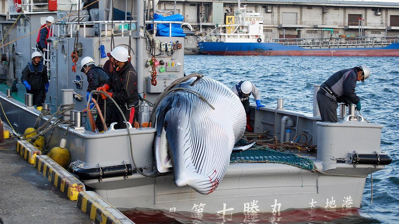 [B! news] 日本捕鯨のIWC脫退:その本當の意味 | nippon.com