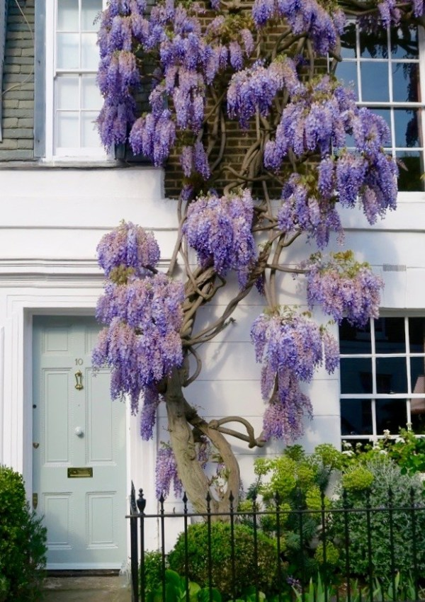 Wisteria Hysteria // Where To Find Wisteria In Chelsea