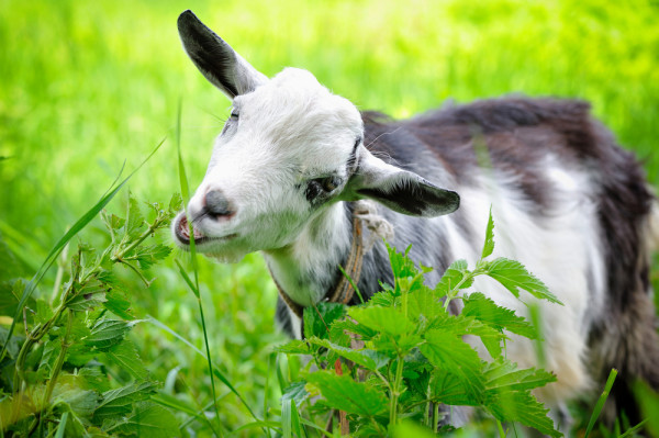 Goat Eating Vegetation