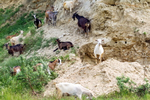 Goats on Hillside