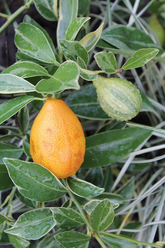 Incorporate edibles like this variegated 'Centennial' kumquat in the garden as you would use any other drop dead gorgeous plant.