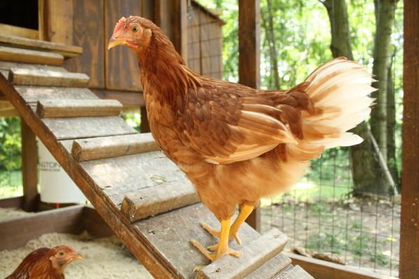 Chicken On Ramp