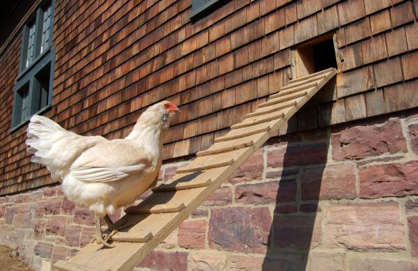 Hen On Ramp