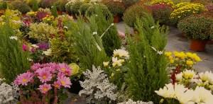 Fleurs d'automne aux serres du lycée agricole Reinach