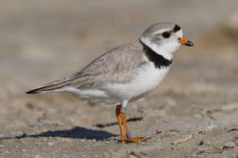 Piping plover sandy hook