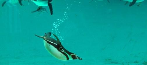 Pinguin GLzoo