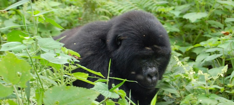 Bwindi Impenetrable National Park, gorilla safari tours, gorilla tracking