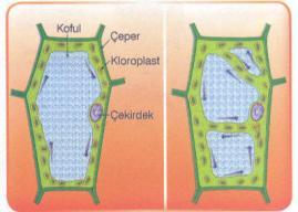 Hücrede Sitoplazmanın Yapısı ve Kısaca Maddeler Halinde Görevleri