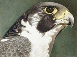 Doğan kuşu resmi